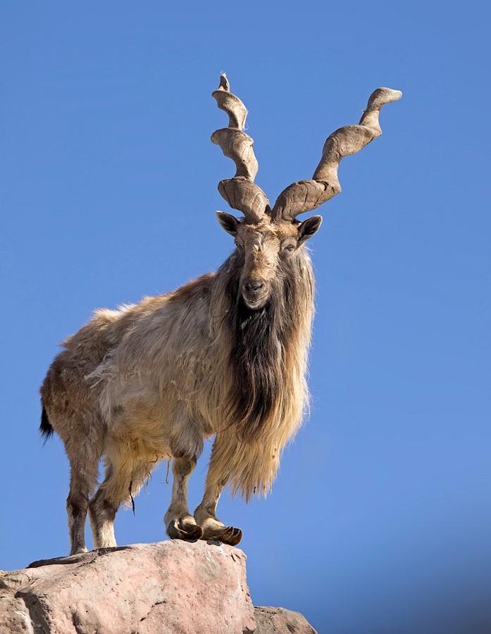 винторогий козел 2